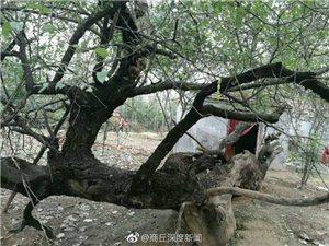 走进澳门威尼斯人游戏网站县镇里固乡六百岁的古槐树