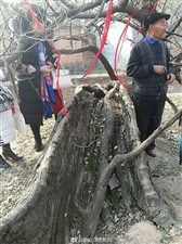 走进虞城县镇里固乡六百岁的古槐树