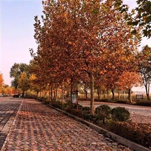 虽不是香山红叶,也是层林尽染。不曾停车