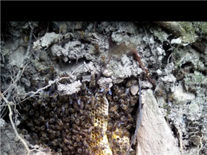 野蜜蜂可以做面膜,美容用的????