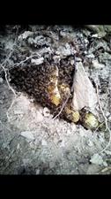 野蜜蜂可以做面膜,美容用的?