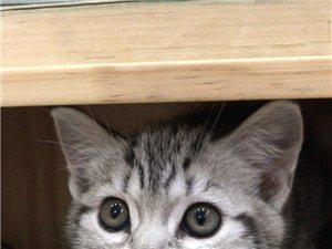 美短幼猫出售