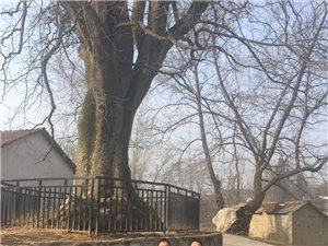 近千年的老树,上百年的牌坊,大清朝遗存下