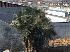 本人老家有两颗棕榈树,现在处理有人要联系