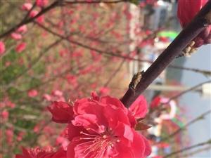 黄猫桃花节精美图片