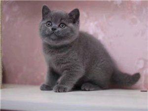 家养蓝猫找新家