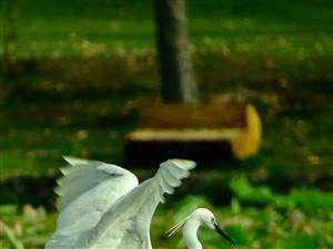 鹭鸟拍摄季来了