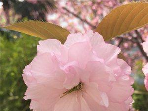 牌坊卫生院的樱花??