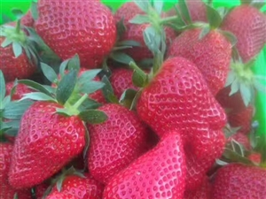 张家川小伙伴,摘草莓走!