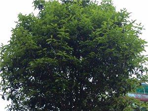 红桂花树挂卖