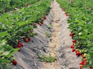 草莓好吃到根本停!不!下!来!