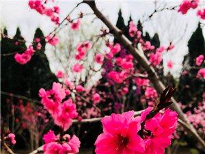 美丽的莱阳春天里,百花盛开。