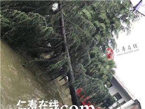仁寿涂家乡昨晚的风好大,把学校里的大树都吹翻了
