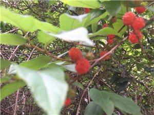 在黑龙滩发现的,不知叫什么,据说可以吃,尝了一下,味道不错,纯甜,有知道是什么果的朋友吗?