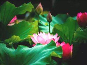 心如莲花,人生才会一路芬芳