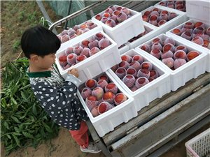 砀山油桃大量出售
