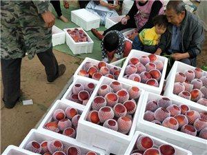 砀山油桃大量出售了