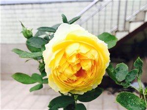 新买的玫瑰,开得好漂亮,将养玫瑰进行到底~~