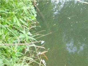 唉,龙潭溪里好多死鱼
