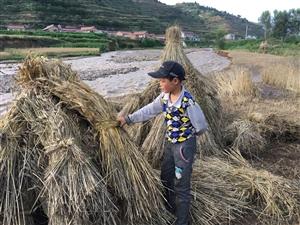 麦下芽了,河畔抢收的农民大叔裤腿子上沾满了泥巴
