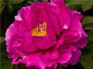 七绝牡丹花