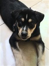 7月26日晚,我的狗狗跑丢了,见到的好心人请给我打个电话17628390089。它眼睛一只蓝色一只黑