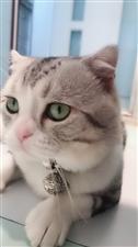 帮我家美短折耳猫找个漂亮小媳妇