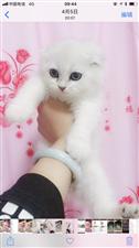 英短渐层猫