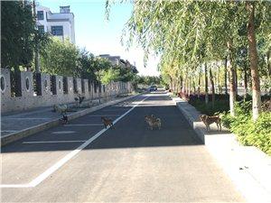 如意庭院小区门口的野狗,8只,还有比这多的吗?绿化带边上到处是便便