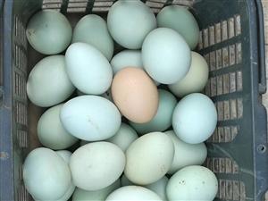 喂苞谷的土鸡蛋