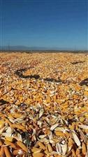 大量收�玉米棒子了