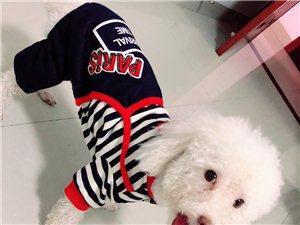 它叫皮蛋,是一只泰迪狗狗,都叫它皮皮,叫它能听懂,昨天9.28号)晚上10:20左右在博都广场走丢,
