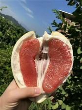 自家果园红肉柚,还有2.3万斤