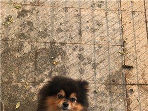 博美三色犬对外免费借配一次,下狗后要小狗一条