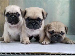 出售巴哥幼犬