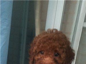 2個月家養的泰迪出售