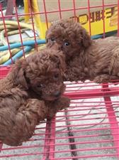家养小体苹果脸泰迪幼犬,活体,保证健康