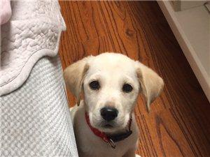 自家拉布拉多幼犬,纯种可爱