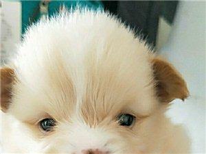 出售博美小体幼犬