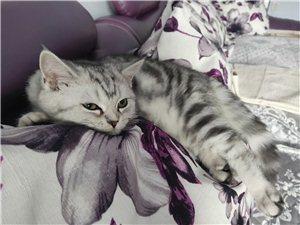 出售自己家养的猫咪