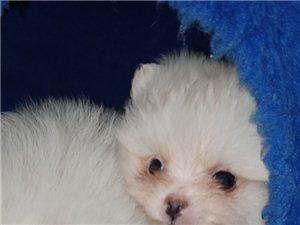 一个多月的小博美犬~自己家大博美生的~