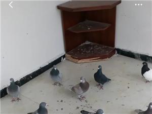 赛鸽信鸽成绩鸽观赏鸽
