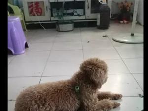 本人加急低价出售微型小型泰迪犬