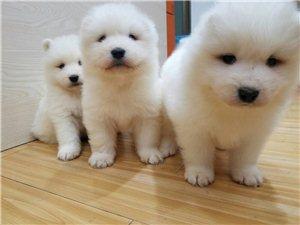 自家萨摩耶40天幼犬出售