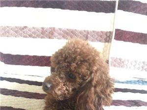 出售家養泰迪幼犬