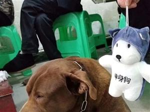 寻狗启示:咖啡色拉布拉多犬(添福)