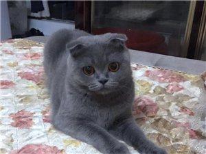 英短蓝猫转让