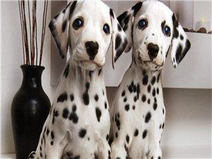 斑点狗狗。种公,13个月大