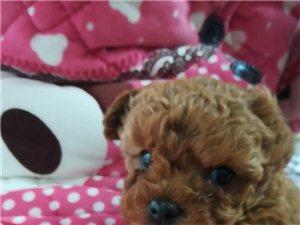 棕色泰迪犬