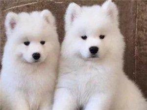 萨摩耶宠物狗狗活体纯种幼犬小狗